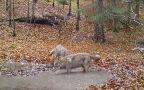 Zabawa wilków w lesie