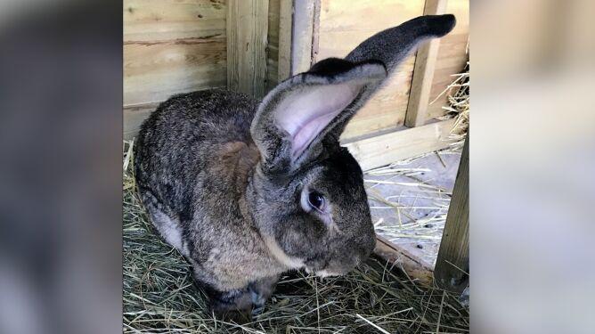"""Skradziono rekordzistę Guinnessa – """"najdłuższego żyjącego królika"""""""