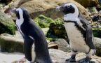 Dwójka pingwinów-gejów wysiaduje jajo