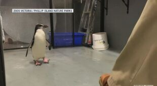 Pingwin po przebyciu 2,5 tysiąca kilometrów potrzebował pomocy